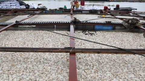 Nước khu vực 1.500 tấn cá chết trên sông La Ngà có khí độc vượt mức
